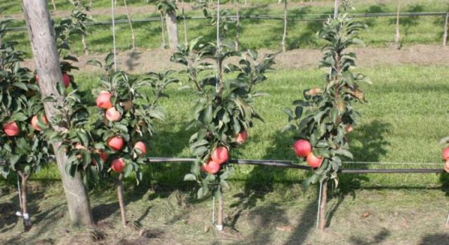 Как правильно обрезать колоновидную яблоню осенью: схемы и видео для начинающих