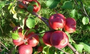 Подарок графского яблоня