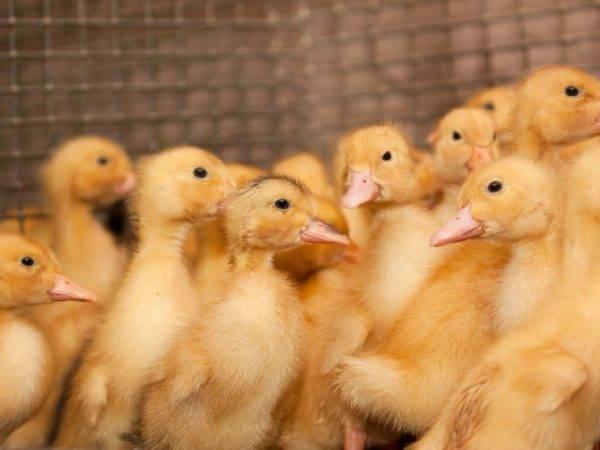 Бройлерные утки: описание породы и выращивание в домашних условиях