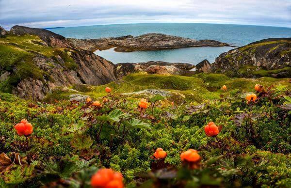 Ягода морошка где растет — ягоды грибы