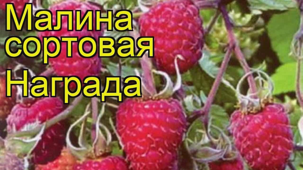 Слава россии —малоизвестный сорт крупноплодной малины