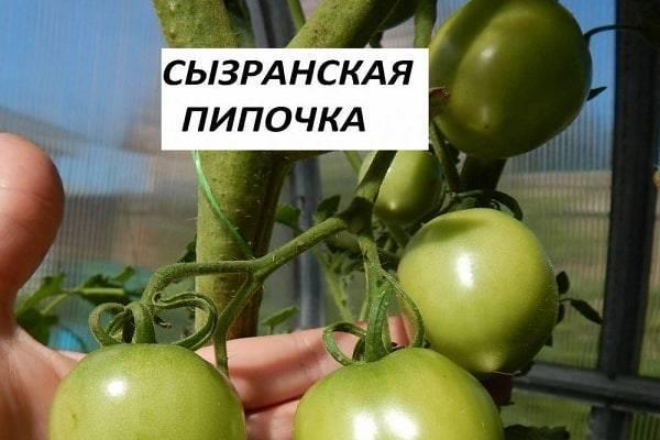Томат сызранская пипочка — описание сорта, отзывы, урожайность