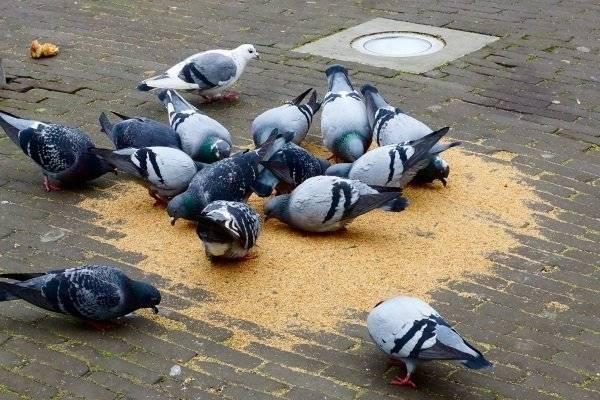 Чем кормить голубей? домашние голуби: содержание, уход