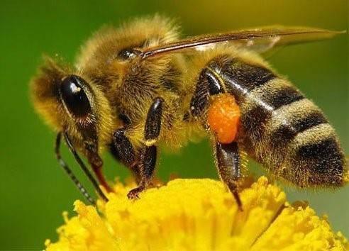 Что опыляют пчелы и процесс опыления