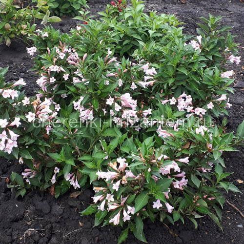 Вейгела цветущая минор блэк посадка и уход в открытом грунте