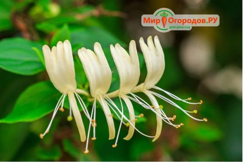 Плодоношение жимолости: как долго может плодоносить, развитие растения