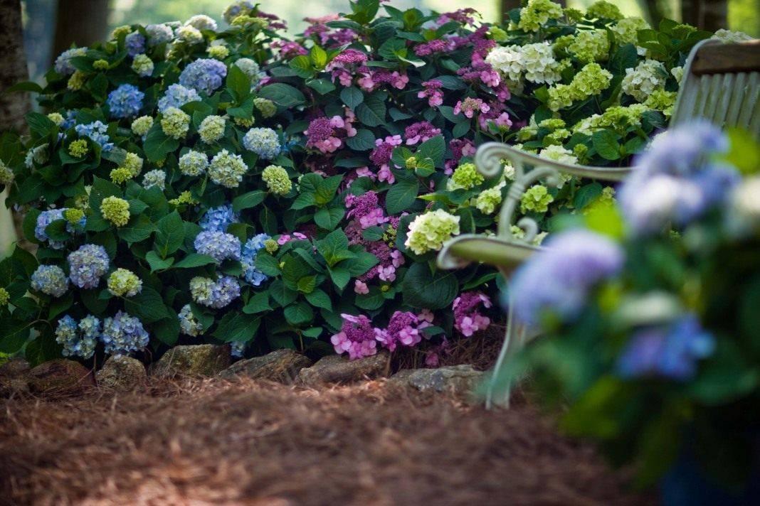 Гортензия: на какой год зацветает, где сажать в тени или на солнце?