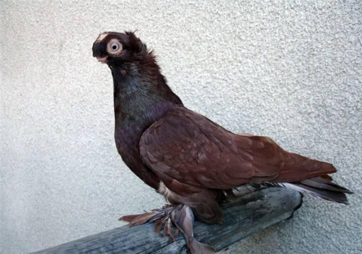 Узбекские голуби