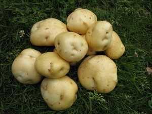 Самые урожайные и вкусные сорта картофеля. какие лучше подходят для выращивания в подмосковье, сибири и на урале?