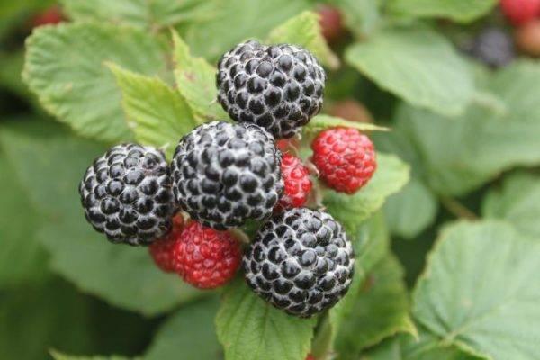 Черная малина кумберленд – преимущества и недостатки, посадка, уход, размножение