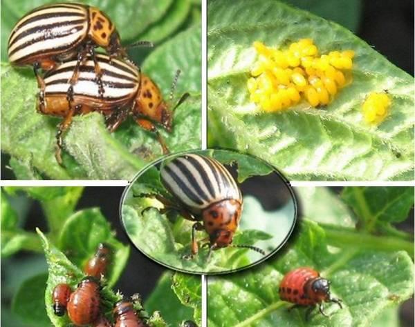 Чем травить колорадского жука на картошке