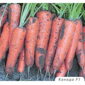 Морковь нандрин f1 описание фото отзывы
