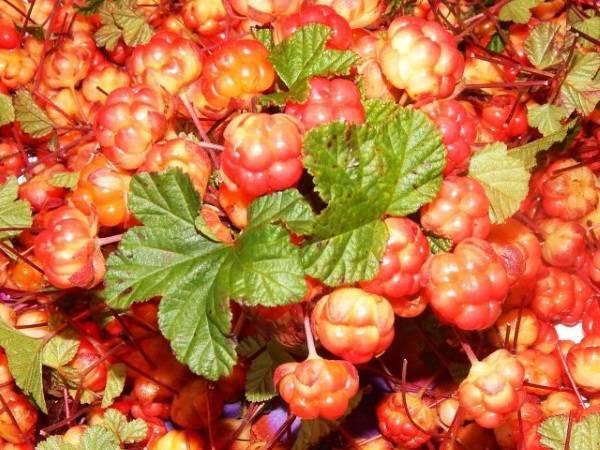 Как варить варенье из морошки, чтобы сохранить всю пользу «царской ягоды»