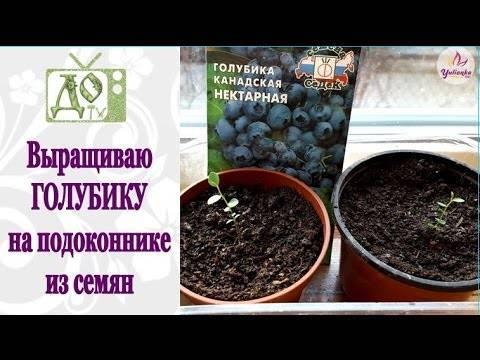 Как сажать семена голубики: как выглядят семена, фото, видео