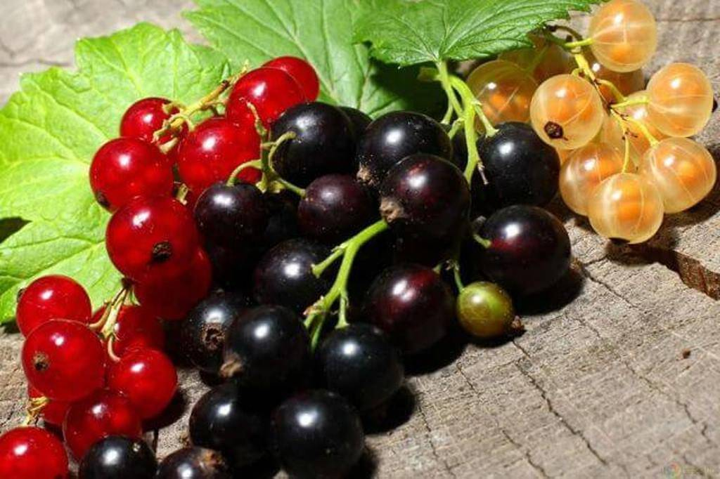 Листья черной смородины когда собирать — ягоды грибы