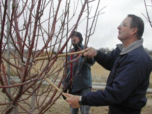 Прививка шелковицы весной – как получить здоровый сад?