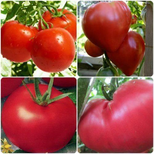 Как правильно собрать семена томатов в домашних условиях