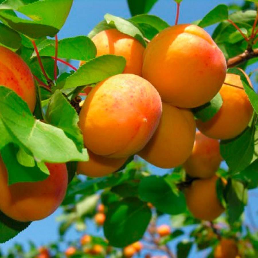 Абрикос медовый: неприхотливый сорт с ярким ароматом