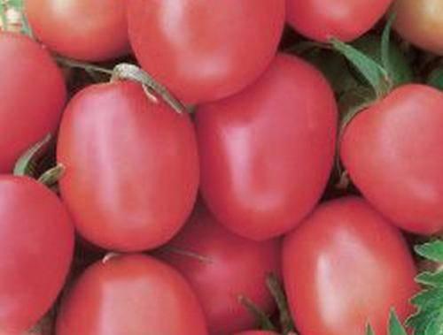 Томат «ультраскороспелый f1» — для тех, кто любит стабильный урожай