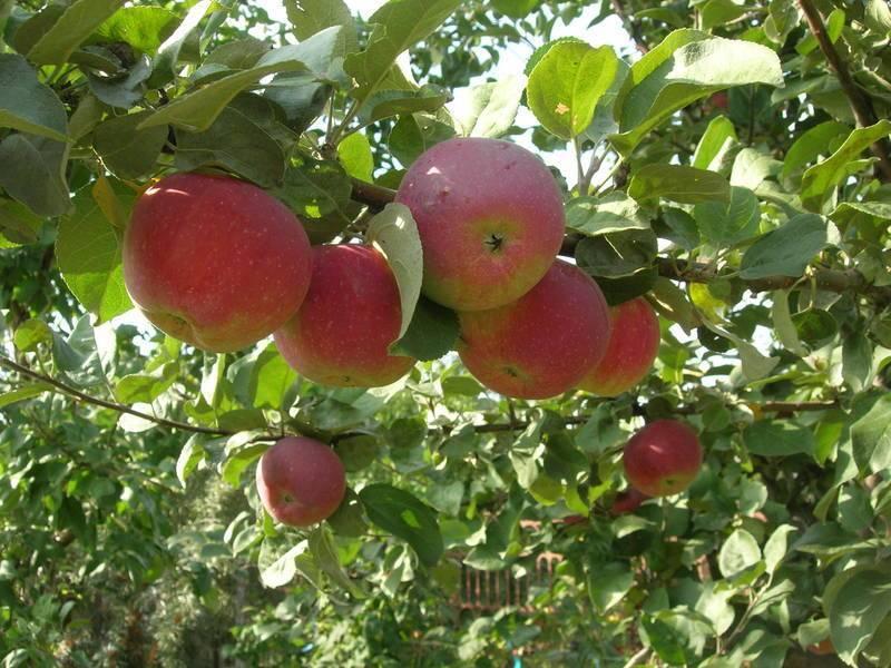 Зимняя яблоня белорусское сладкое