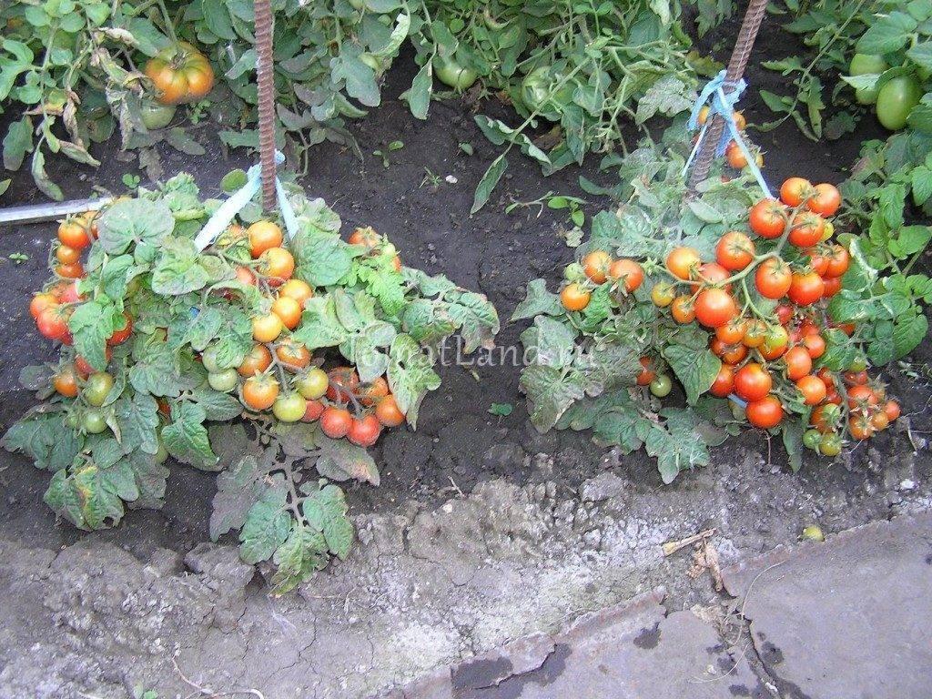 "Томат ""линда"": описание помидор черри и гибридного сорта ""линда f1"", характеристики и фото"