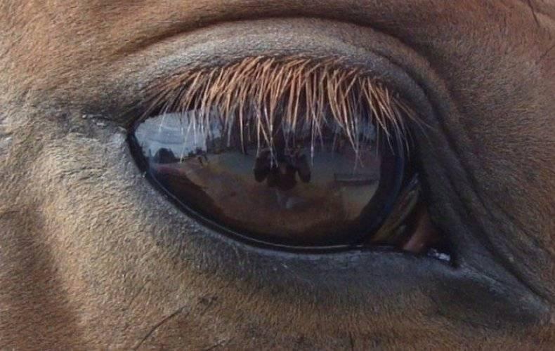 У коровы глаза слезятся