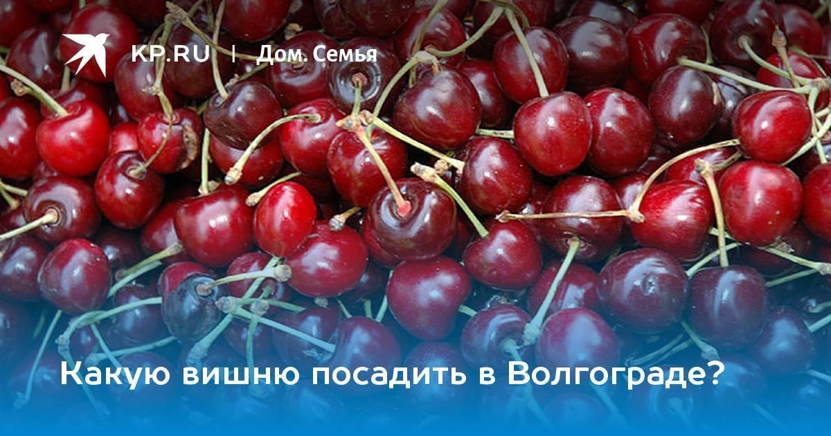 Вишня Хуторянка: описание сорта, фото, отзывы, опылители