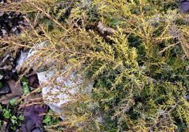 Как выглядит можжевельник: 125 фото растения, описание полезных свойств и видео инструкция по выращиванию в саду
