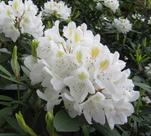 Вечнозеленые рододендроны: фото, описание, посадка и уход за самыми морозоустойчивыми сортами азалий