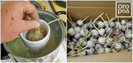 Как лучше хранить зимой чеснок в домашних условиях чтобы не высох?