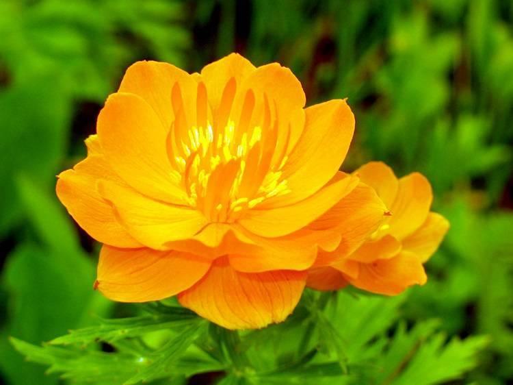Цветок троллей: самые красивые сорта и виды купальницы