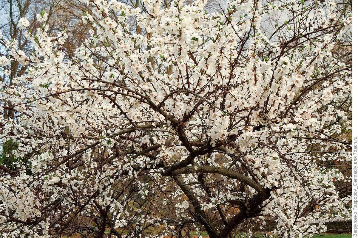 Что делать, если вишня цветет, но не плодоносит?
