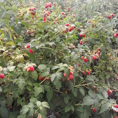Как вырастить малину «шапка мономаха»? описание сорта