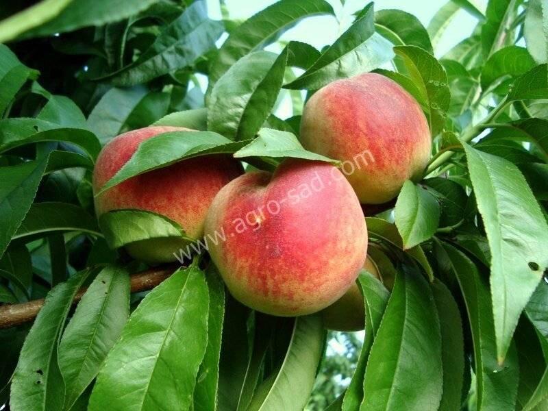 Лучшие сорта персиков и нектаринов (с фото)