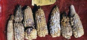 Лучшие сорта кукурузы: фото, описание