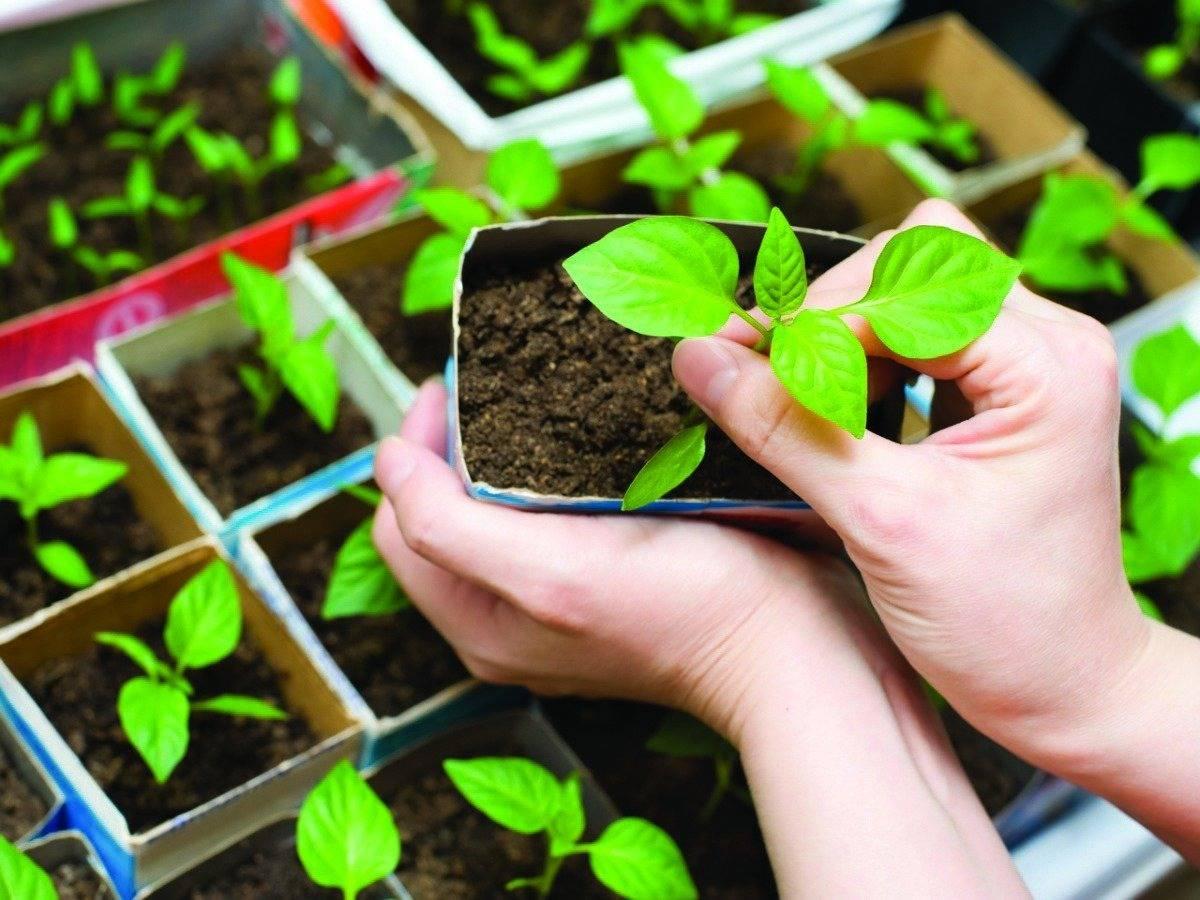 Секреты выращивания баклажанов на урале: проверенные способы