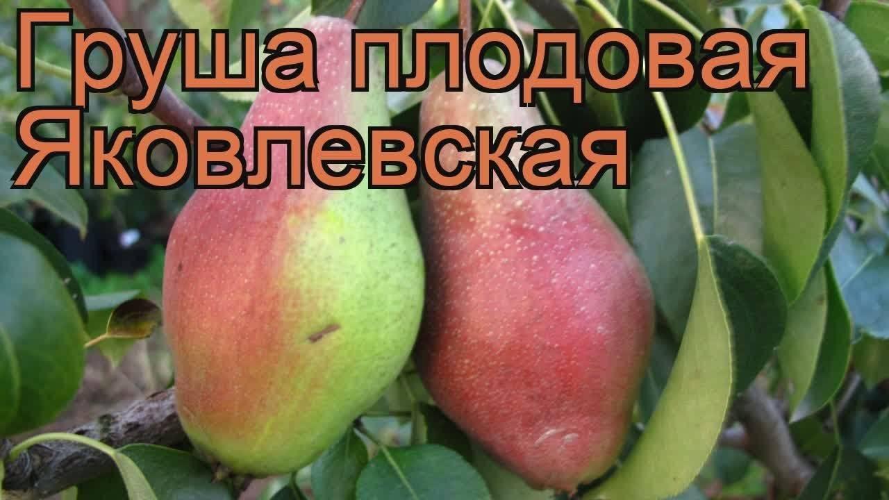 Особенности выращивания и подробная характеристика груши сорта чижовская