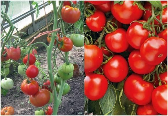 Фото, видео, отзывы, описание, характеристика и урожайность гибрида томата «спасская башня f1»