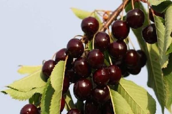 Сорт вишни черная крупная: описание и фото, характеристики и особенности выращивания