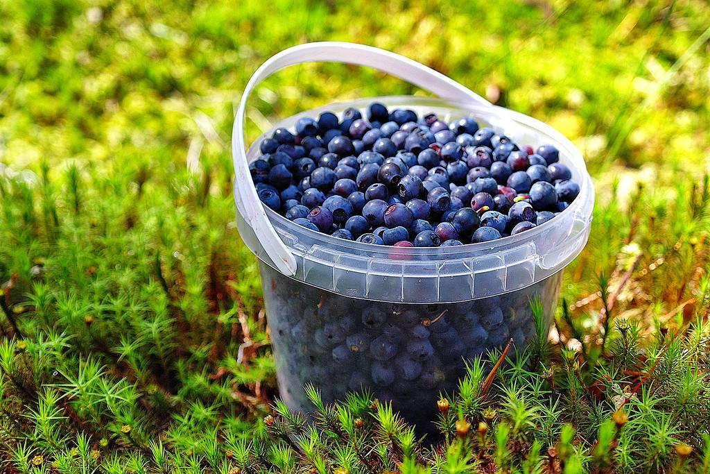 Черника − выращивание и уход в удовольствие и без хлопот