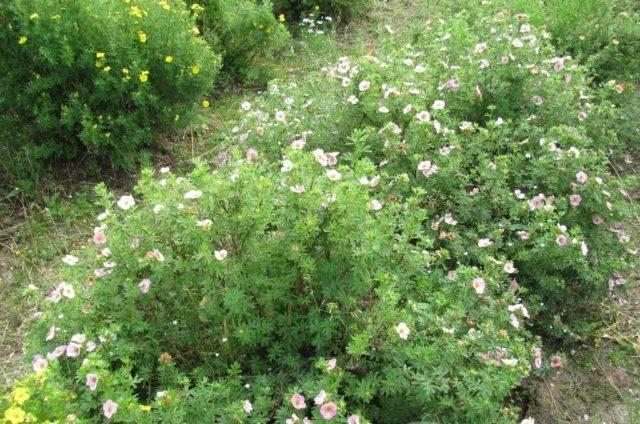 Лапчатка кустарниковая lovely pink посадка и уход