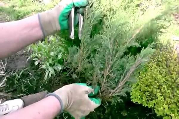 Размножение можжевельника: быстрый и легкий способ. как укоренить и вырастить веточки в домашних условиях?