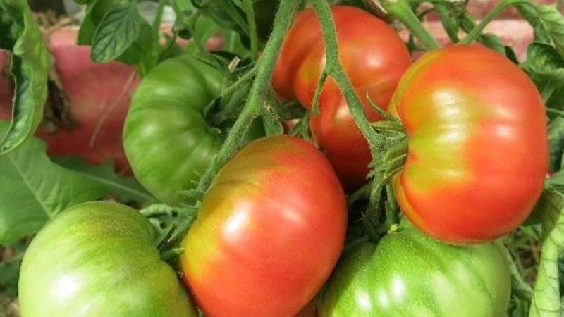 Характеристика сорта томата урал f1, урожайность и особенности агротехники