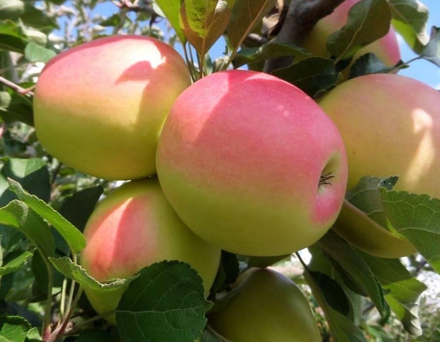 Яблоня северный синап: описание сорта и его фото, характеристики и особенности выращивания