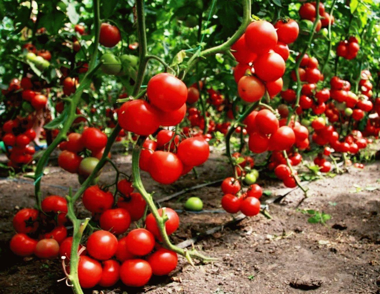 Характеристика и описание сорта томата настена, его урожайность
