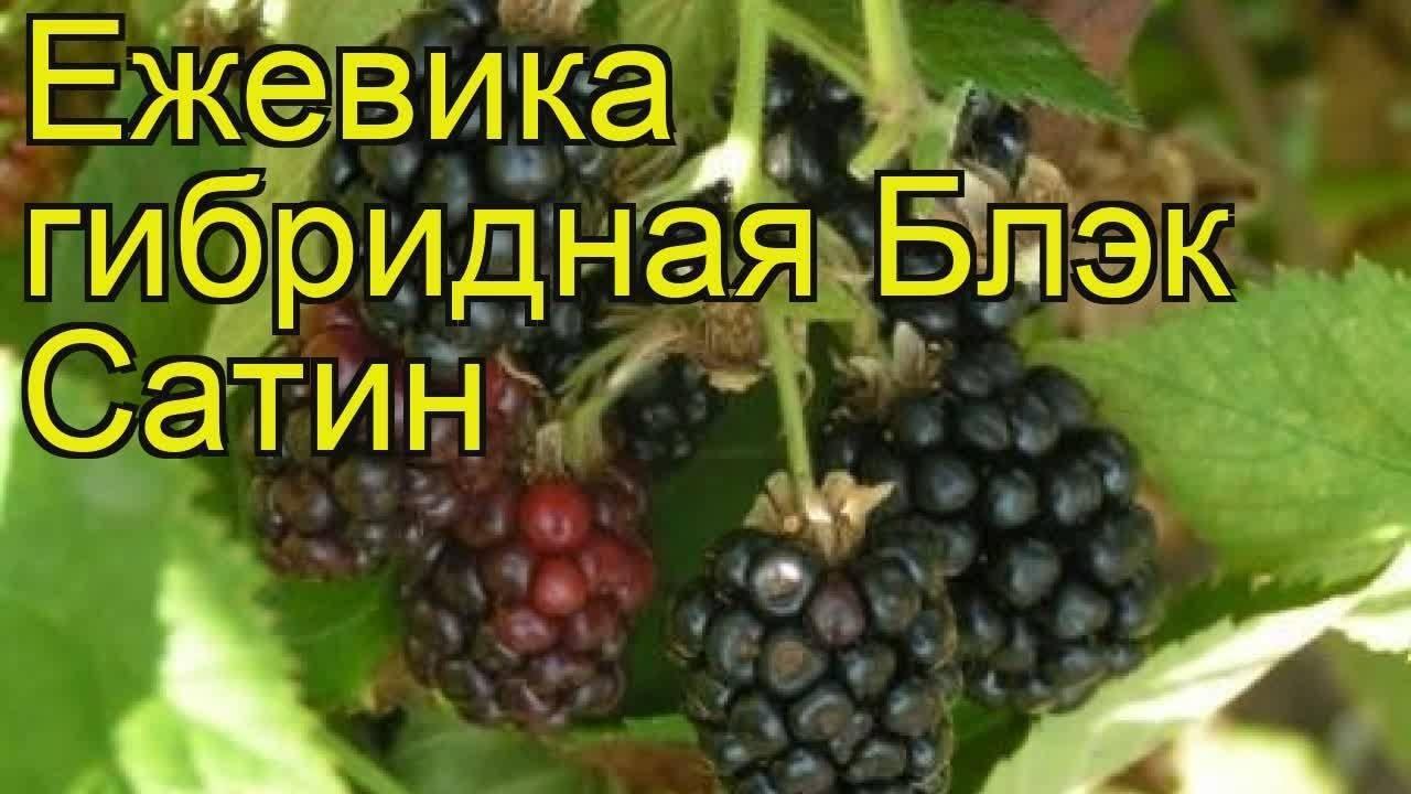 Ежевика чародейка — описание сорта, характеристика, выращивание, фото и отзывы