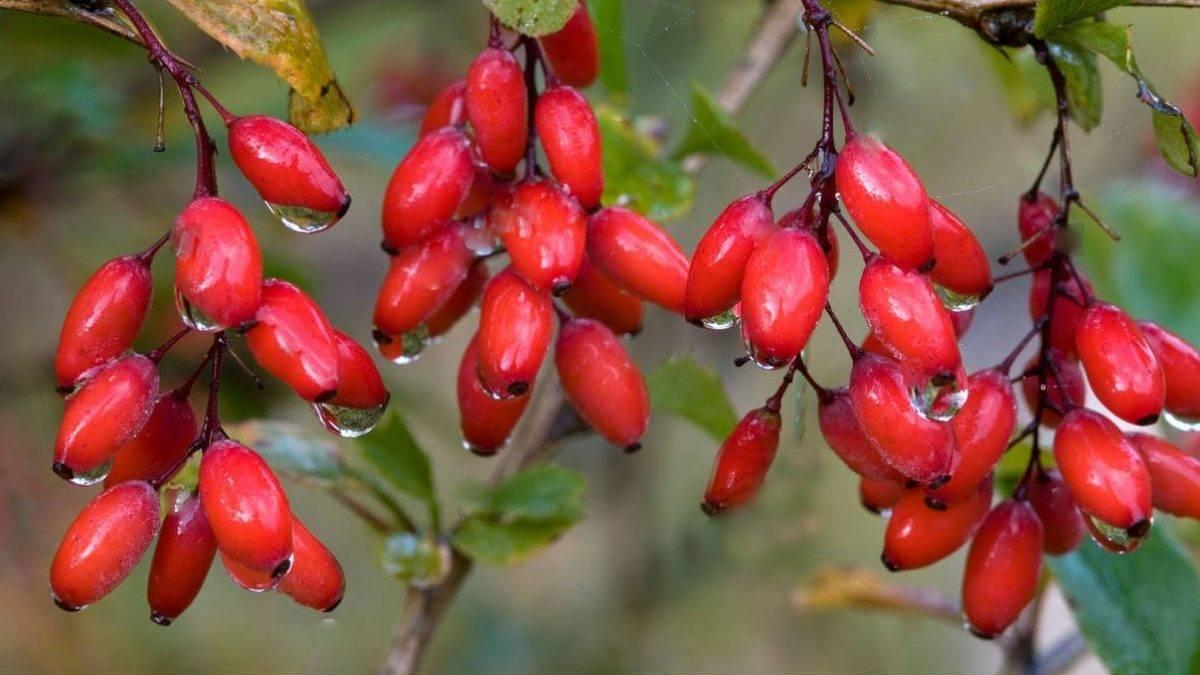 Уникальные свойства ягод барбариса