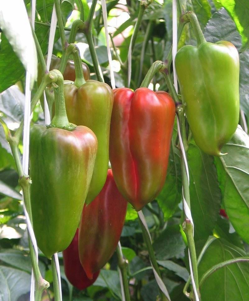 Сорта белых перцев