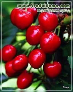 Сорта черешни: описание лучших сортов для посадки и подробное описание выращивания черешни (100 фото)