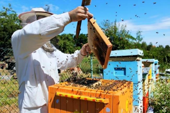 Как правильно делать пчелиные отводки?